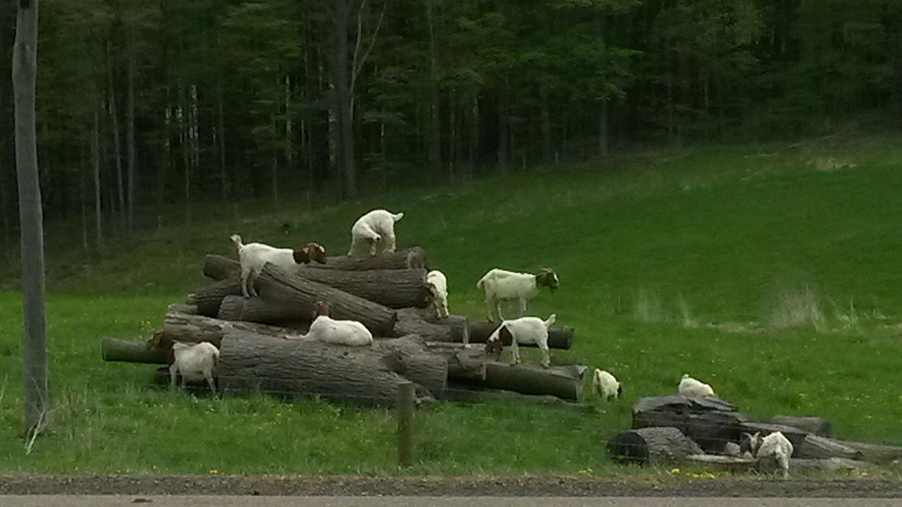 Kidding Around in Yates County (photo)