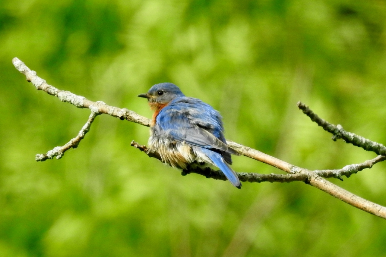Soaked bluebird in South Bristol (photo)